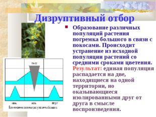 Дизруптивный отбор Образование различных популяций растения погремка большого