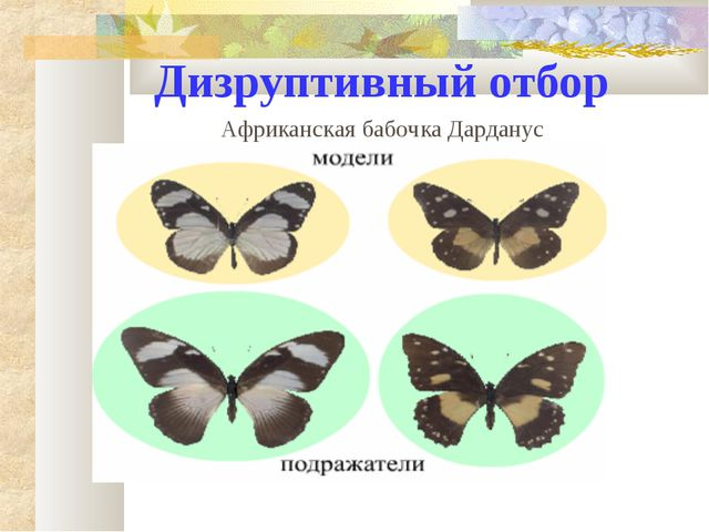 Дизруптивный отбор Африканская бабочка Дарданус