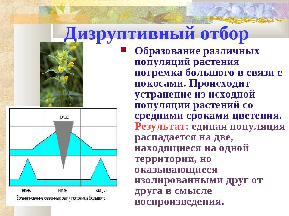 Дизруптивный отбор Образование различных популяций растения погремка большого...