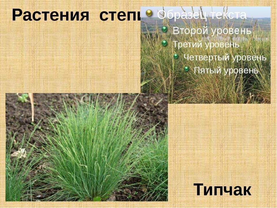 Растения степи Типчак