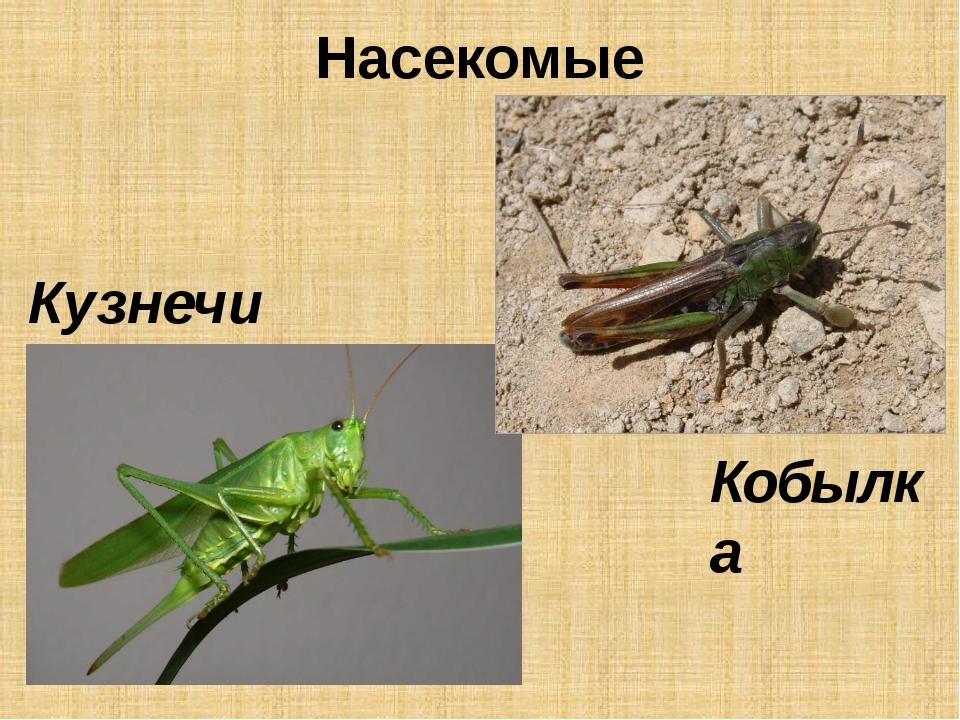 Насекомые Кузнечик Кобылка