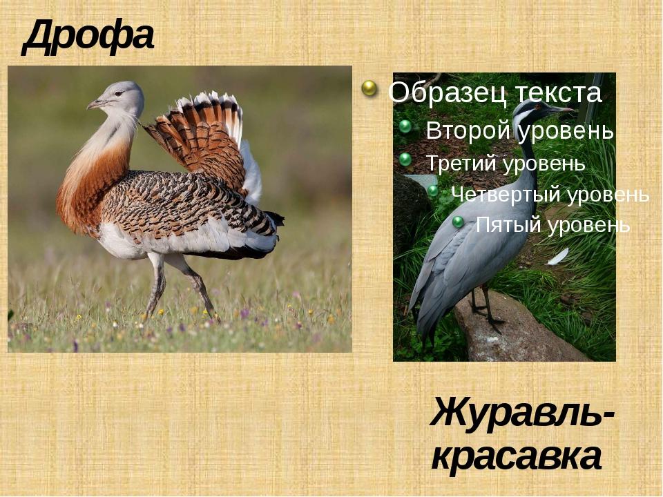 Дрофа Журавль-красавка