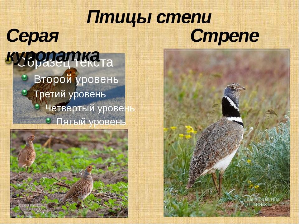 Птицы степи Серая куропатка Стрепет