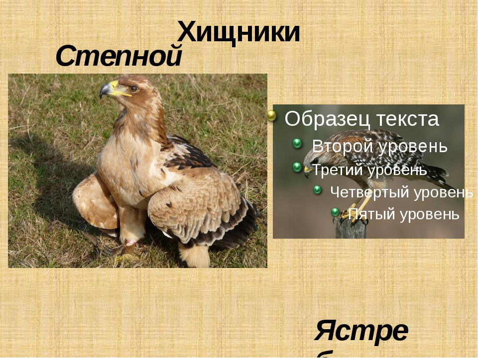 Хищники Степной орёл Ястреб