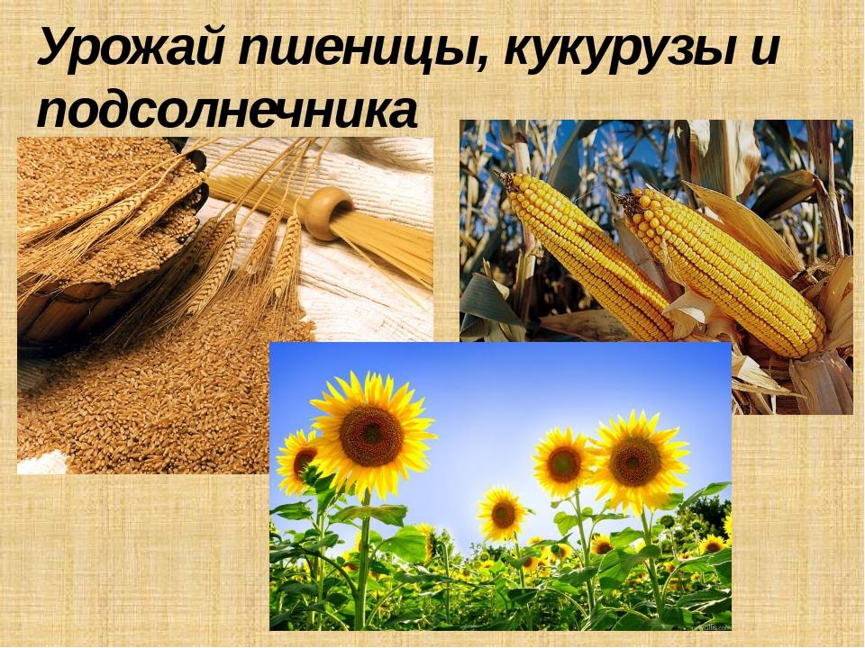 Урожай пшеницы, кукурузы и подсолнечника