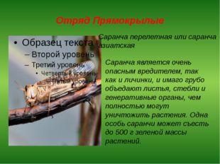 Отряд Прямокрылые Саранча перелетная или саранча азиатская Саранча является о