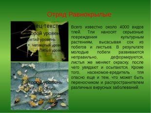 Отряд Равнокрылые Всего известно около 4000 видов тлей. Тли наносят серьезные