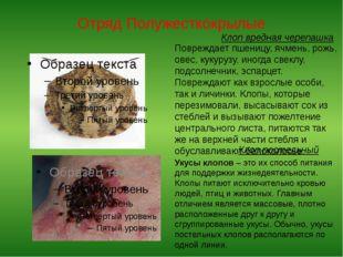 Отряд Полужесткокрылые Клоп вредная черепашка Повреждает пшеницу, ячмень, рож