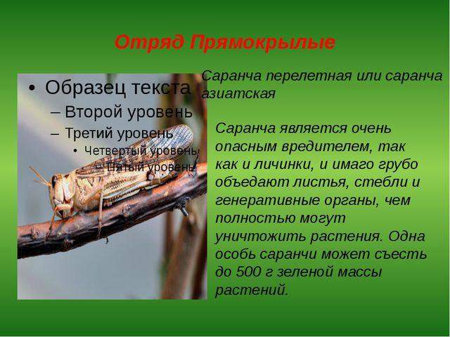 Отряд Прямокрылые Саранча перелетная или саранча азиатская Саранча является о...