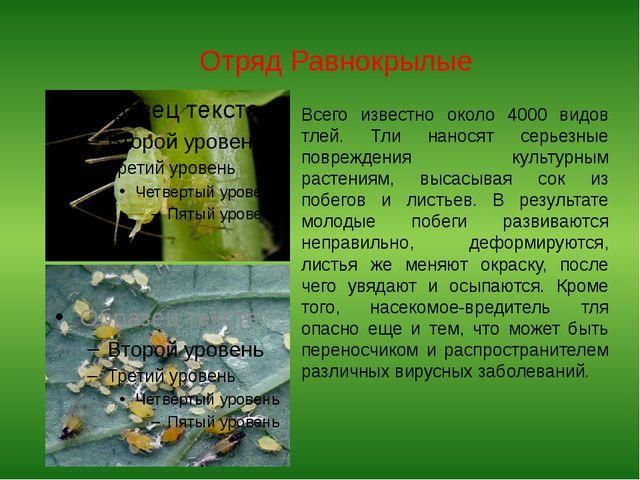 Отряд Равнокрылые Всего известно около 4000 видов тлей. Тли наносят серьезные...