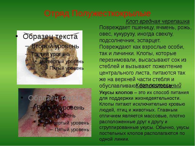 Отряд Полужесткокрылые Клоп вредная черепашка Повреждает пшеницу, ячмень, рож...
