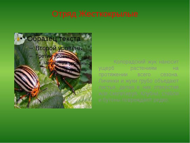 Отряд Жесткокрылые Колорадский жук наносит ущерб растениям на протяжении всег...