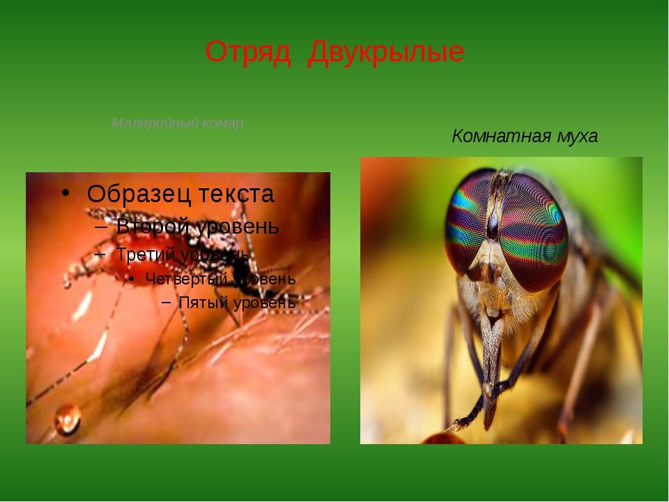 Отряд Двукрылые Малярийный комар Комнатная муха