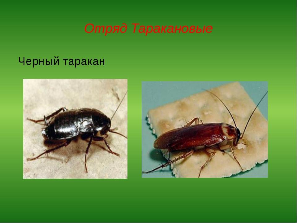 Отряд Таракановые Черный таракан Прусак