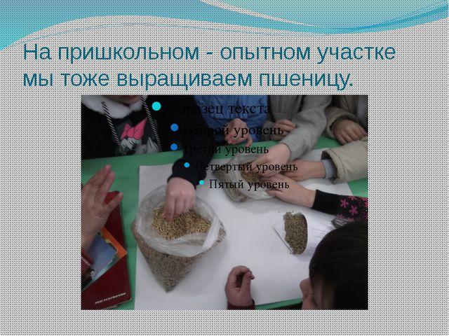 На пришкольном - опытном участке мы тоже выращиваем пшеницу.