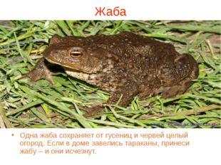 Жаба Одна жаба сохраняет от гусениц и червей целый огород. Если в доме завели