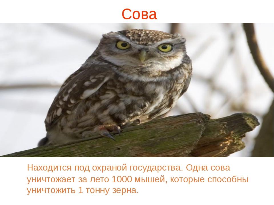 Сова Находится под охраной государства. Одна сова уничтожает за лето 1000 мы...