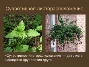 Супротивное листорасположение Супротивное листорасположение — два листа наход