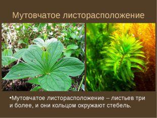 Мутовчатое листорасположение Мутовчатое листорасположение – листьев три и бол