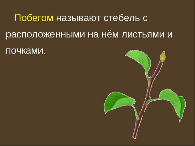 Побегом называют стебель с расположенными на нём листьями и почками.