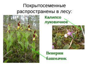 Покрытосеменные распространены в лесу: Калипсо луковичное Венерин башмачок