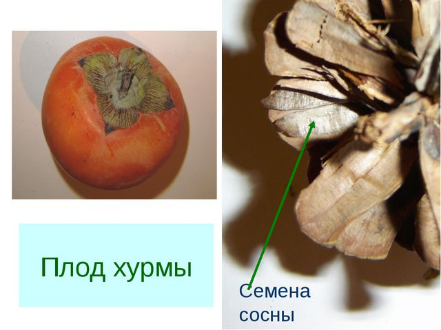 Семена сосны Плод хурмы