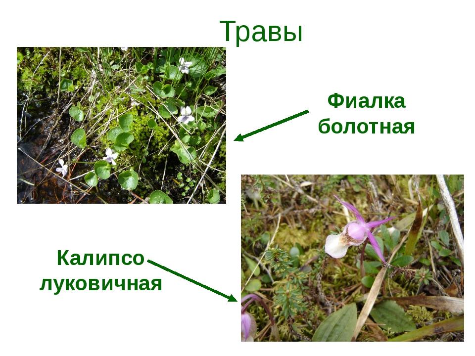 Травы Фиалка болотная Калипсо луковичная