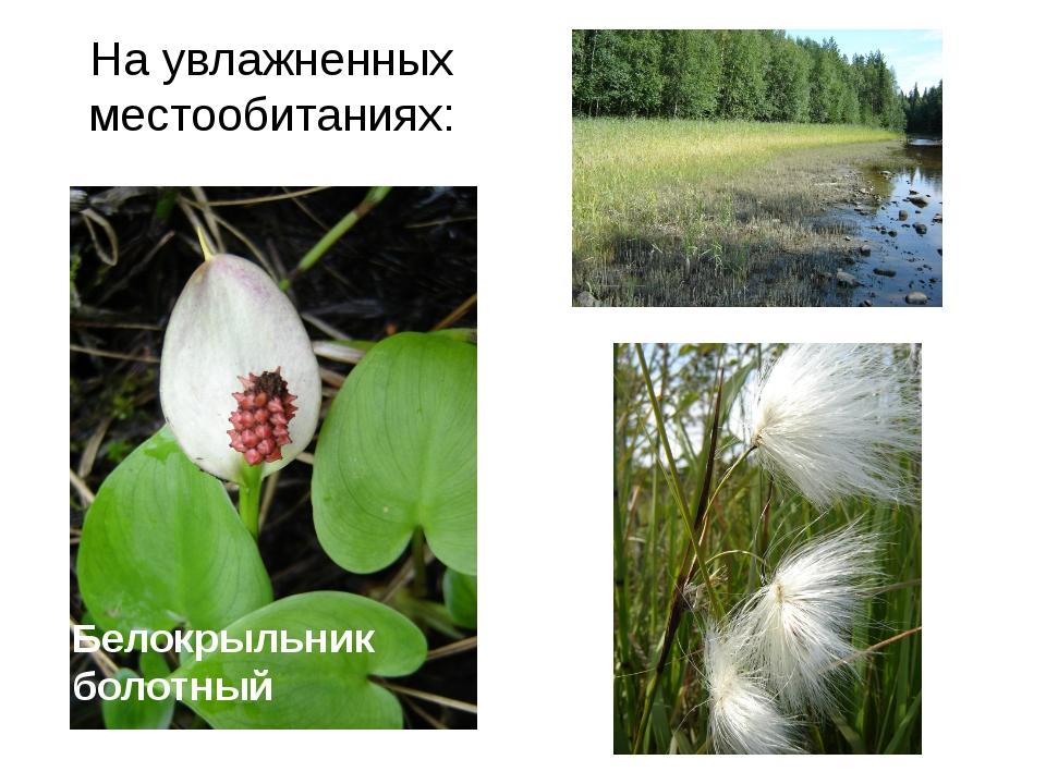 На увлажненных местообитаниях: Белокрыльник болотный