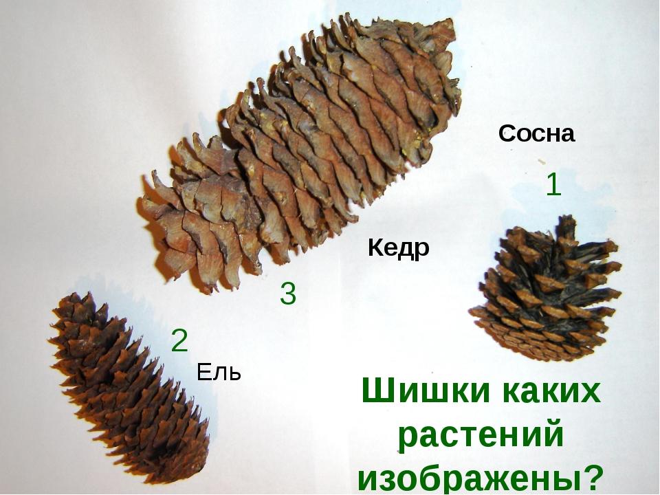 Шишки каких растений изображены? 1 3 2 Кедр Ель Сосна