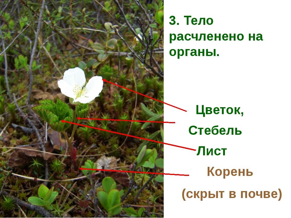 3. Тело расчленено на органы. Цветок, Стебель Лист Корень (скрыт в почве)