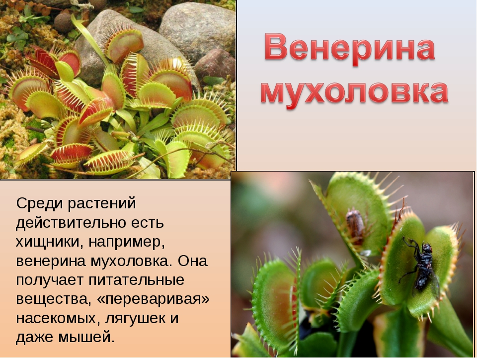 Среди растений действительно есть хищники, например, венерина мухоловка. Она...