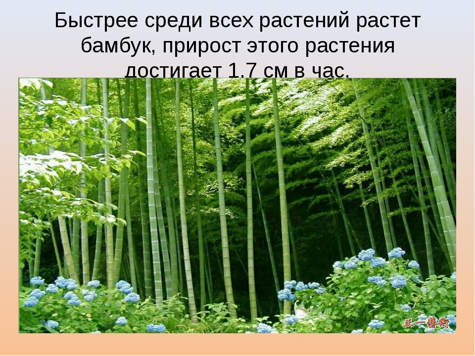 Быстрее среди всех растений растет бамбук, прирост этого растения достигает 1...