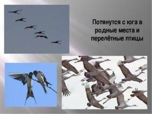 Потянутся с юга в родные места и перелётные птицы
