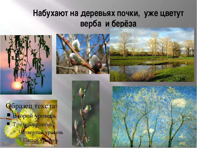 Набухают на деревьях почки, уже цветут верба и берёза