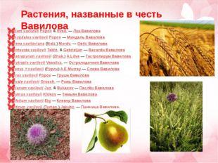 Allium vavilovii Popov & Vved. — Лук Вавилова Amygdalus vavilovii Popov — Мин