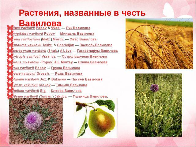Allium vavilovii Popov & Vved. — Лук Вавилова Amygdalus vavilovii Popov — Мин...