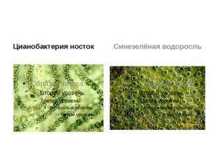 Цианобактерия носток Синезелёная водоросль