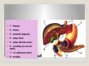 Бауыр, асқазан, ұйқыбезінің орналасуы 1 – бауыр; 2 – өңеш; 3 – асқазан (қарын