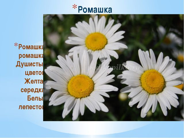 Ромашка Ромашка, ромашка, Душистый цветок. Желтая середка, Белый лепесток.