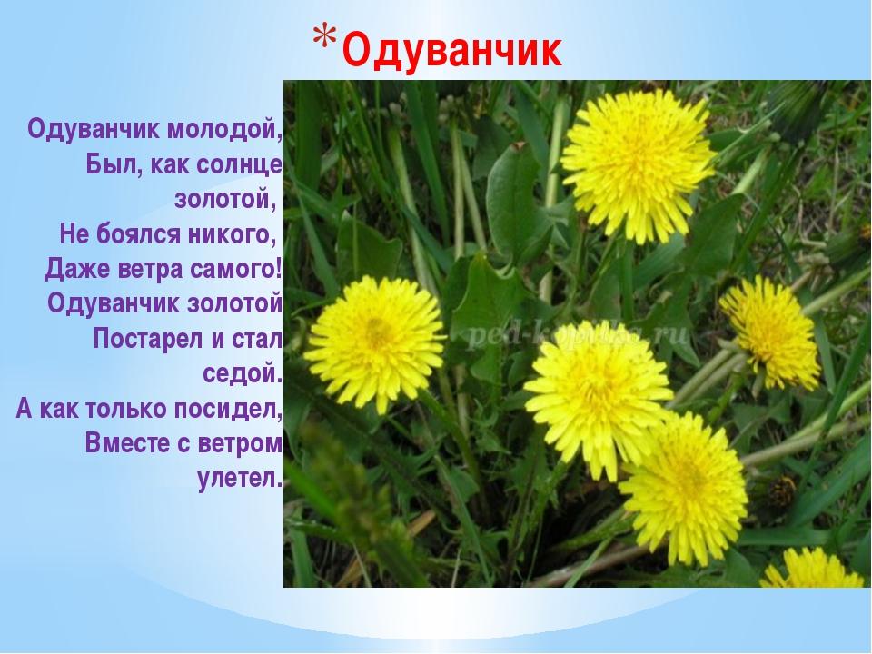 Одуванчик Одуванчик молодой, Был, как солнце золотой, Не боялся никого, Даж...