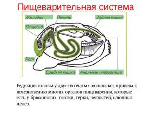 Пищеварительная система Редукция головы у двустворчатых моллюсков привела к и