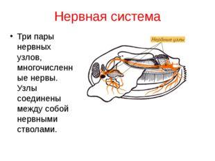 Нервная система Три пары нервных узлов, многочисленные нервы. Узлы соединены