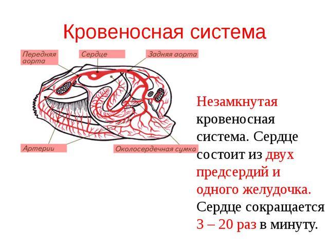 Кровеносная система Незамкнутая кровеносная система. Сердце состоит из двух п...