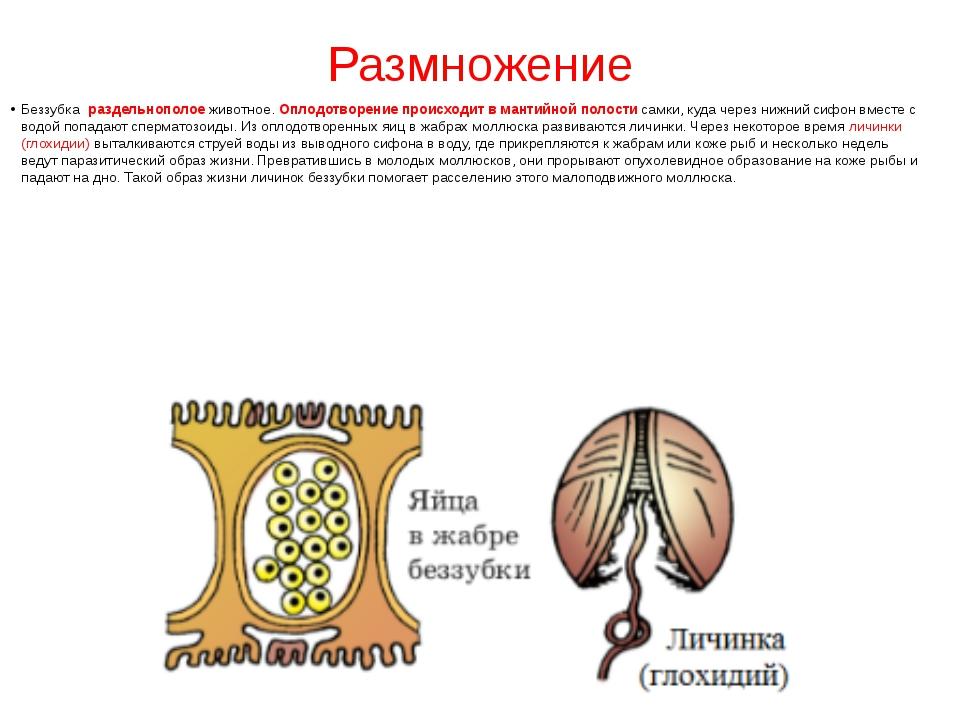 Размножение Беззубка раздельнополоеживотное.Оплодотворение происходит в ма...