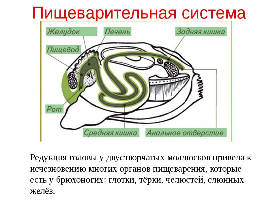 Пищеварительная система Редукция головы у двустворчатых моллюсков привела к и...