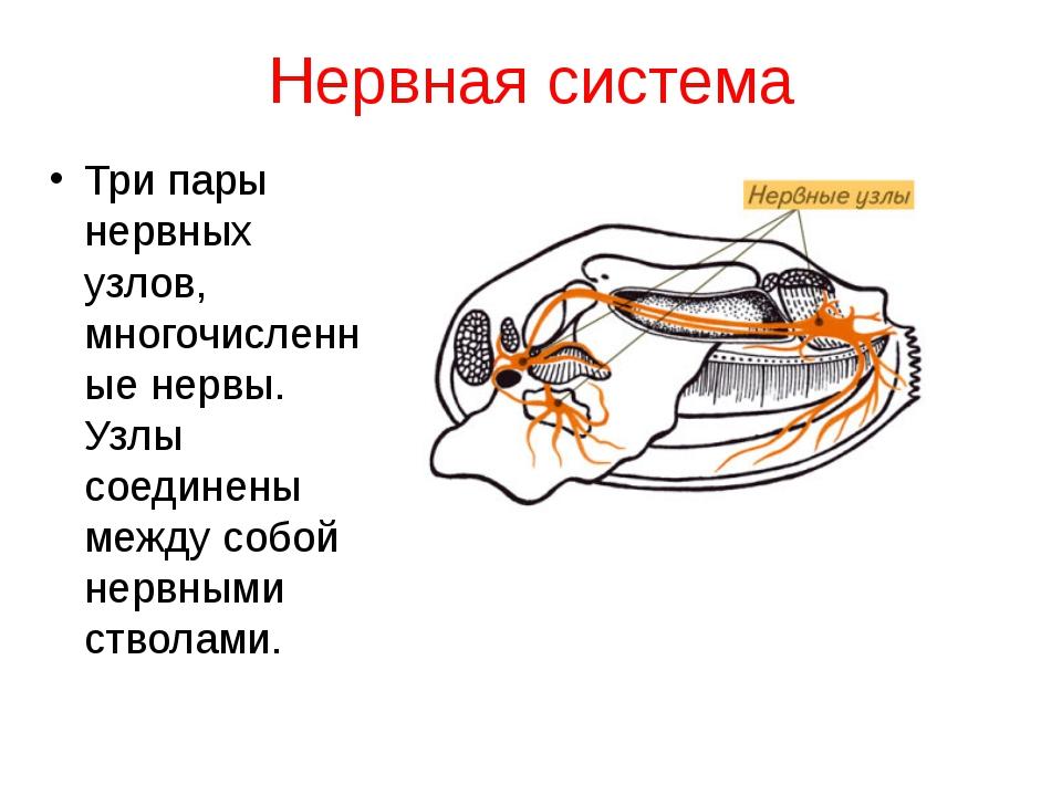 Нервная система Три пары нервных узлов, многочисленные нервы. Узлы соединены...