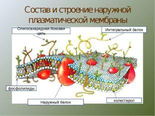 Состав и строение наружной плазматической мембраны Интегральный белок холесте