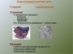 Эндоплазматическая сеть Гладкая Шероховатая Строение 1 мембрана образует: Пол
