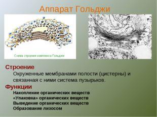 Строение Окруженные мембранами полости (цистерны) и связанная с ними система