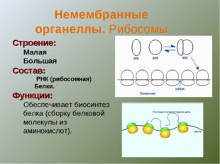 Строение: Малая Большая Состав: РНК (рибосомная) Белки. Функции: Обеспечивает